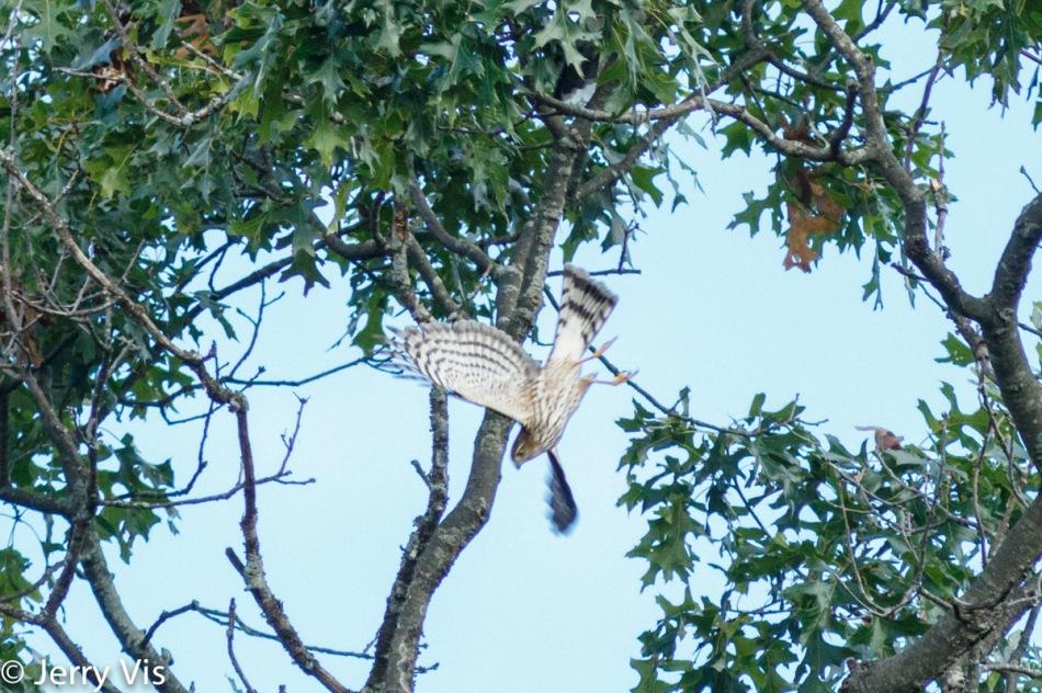 Sharp-shinned hawk in flight