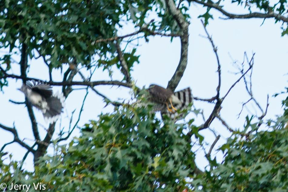 Sharp-shinned hawk chasing a blue jay