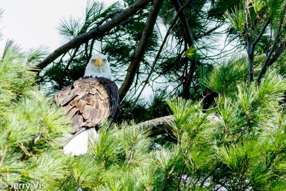 Adult bald eagle 2