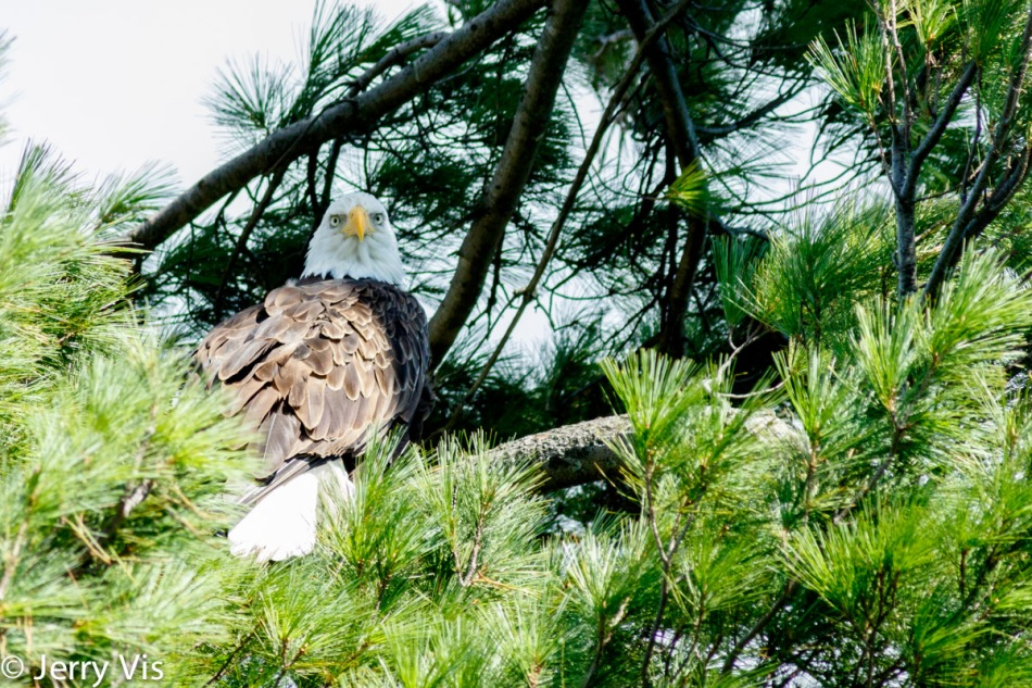 Adult bald eagle 2
