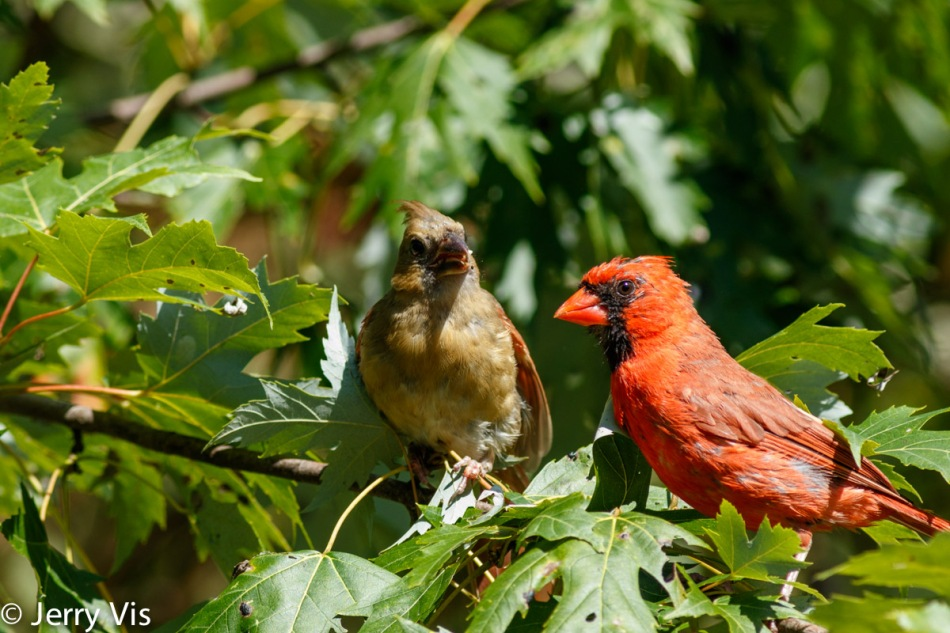 Adult male northern cardinal feeding it's young