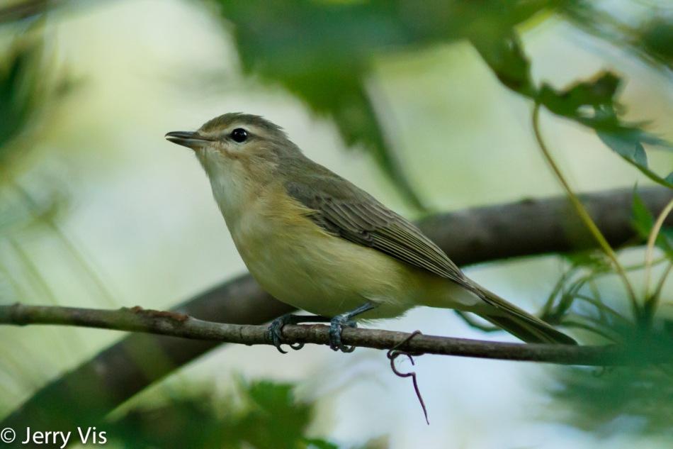 Warbling vireo singing