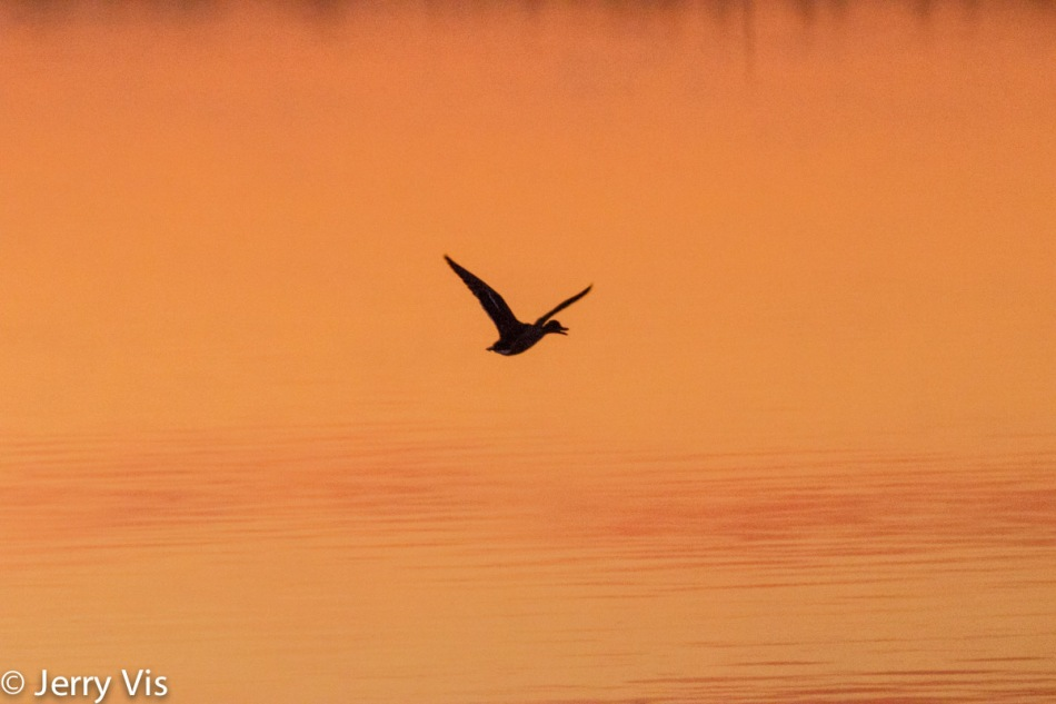Flying duck at dawn