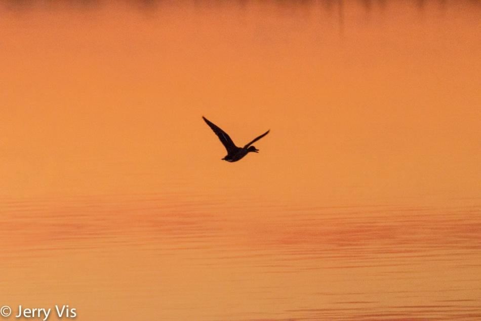Flying duck at dawn
