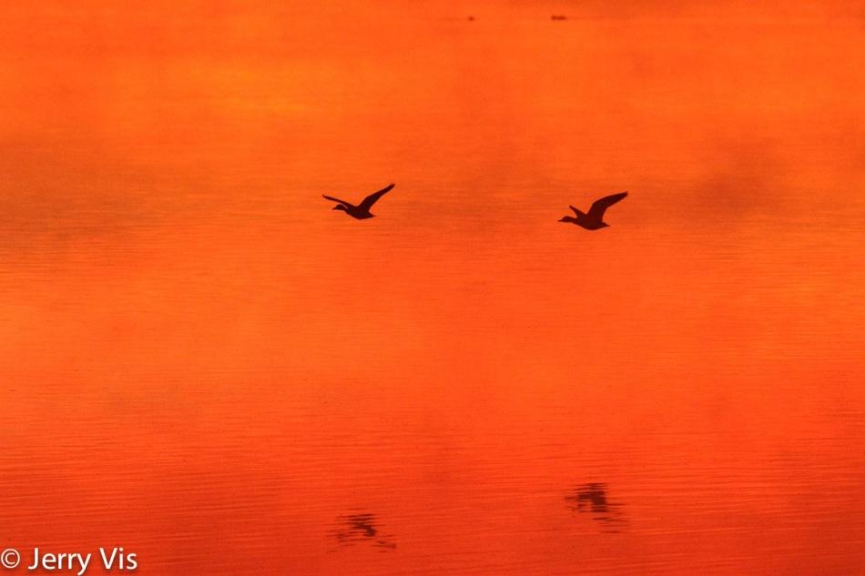 Flying ducks at dawn