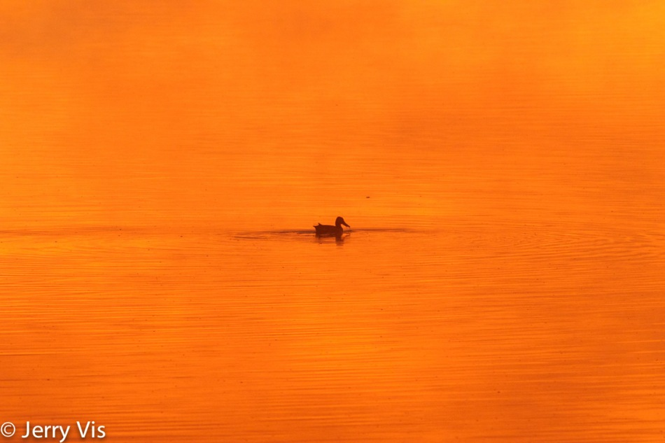 Northern shoveler at dawn