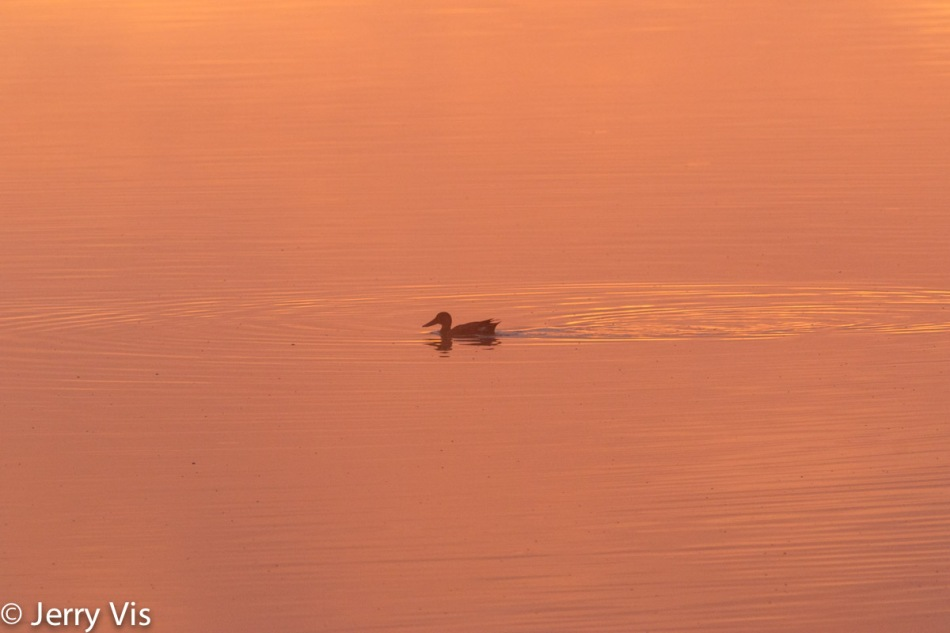 Northern shoveler in the pink light of dawn