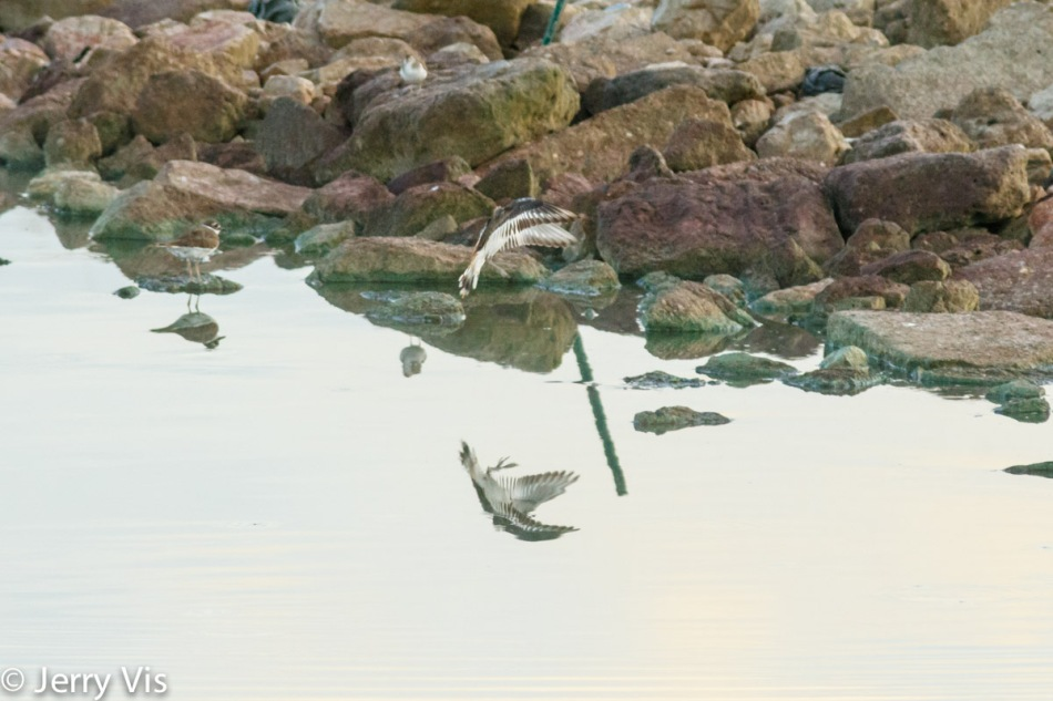 Killdeer and rocks
