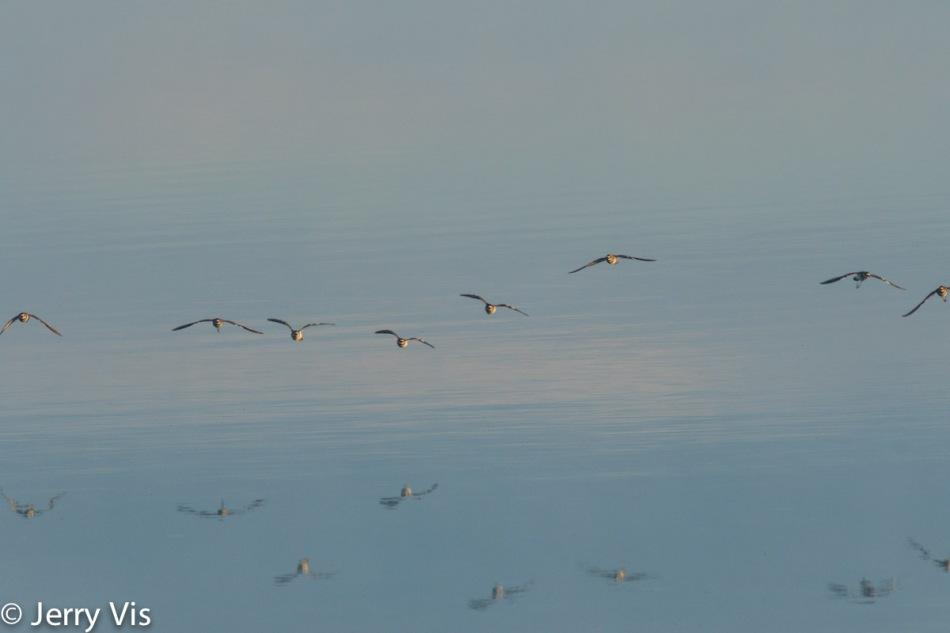Killdeer flock in flight