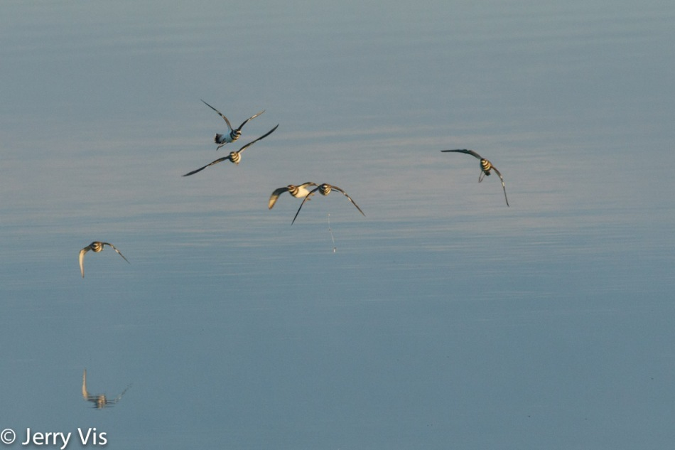 Killdeer flock in flight