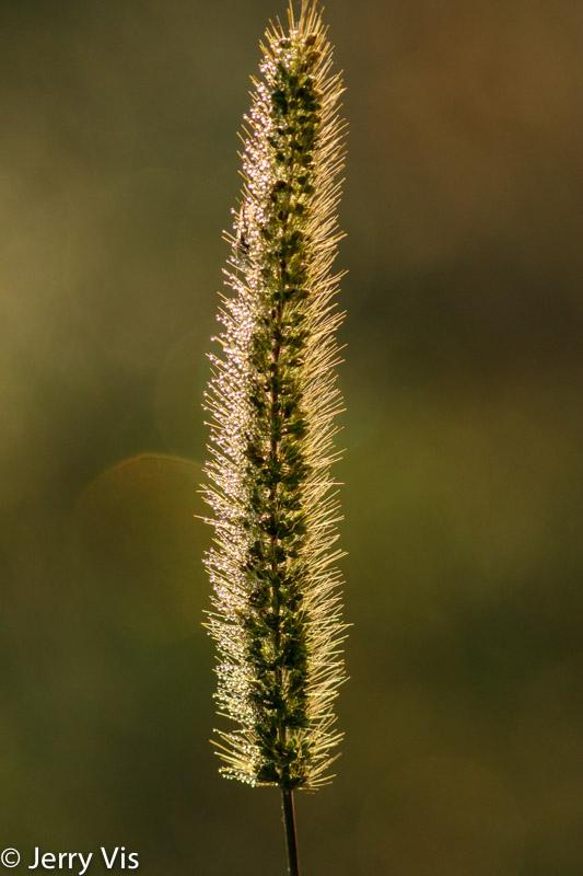 Dew on grass seeds