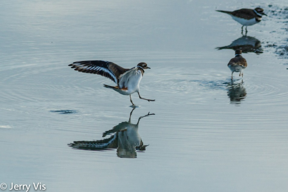 Killdeer testing the water