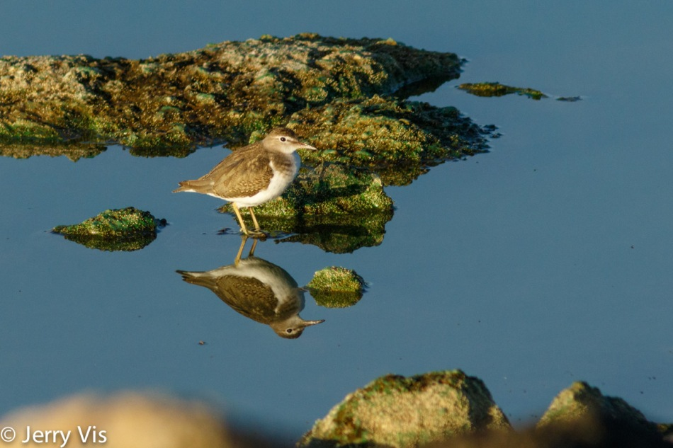 Spotted sandpiper on the rocks