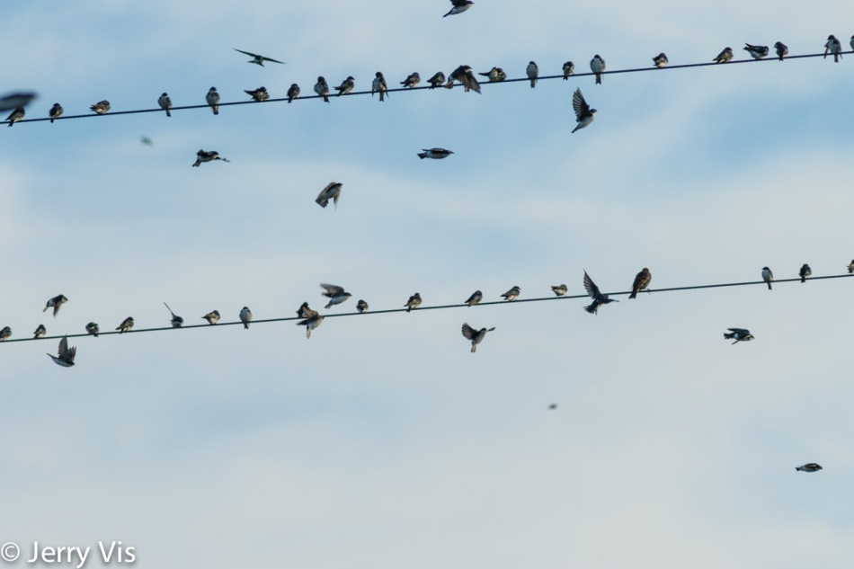 A few of the thousands of swallows seen
