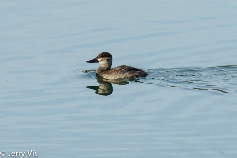 Female ruddy duck