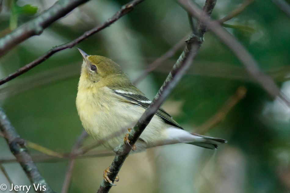 Female blackpoll warbler