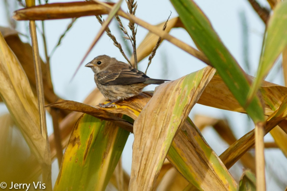 Juvenile indigo bunting in a cornfield