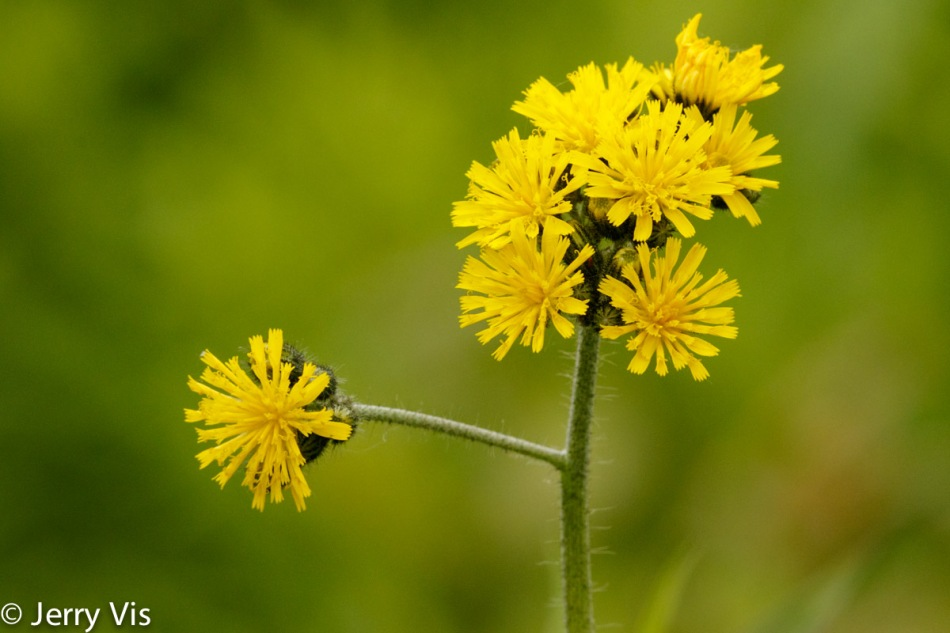 Yellow hawkweed?