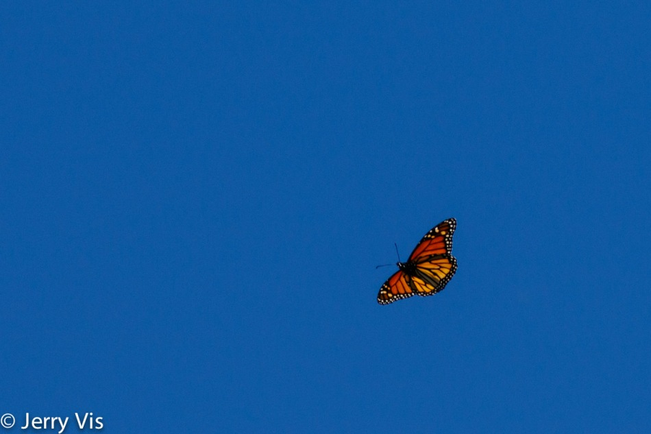 Monarch butterfly in flight