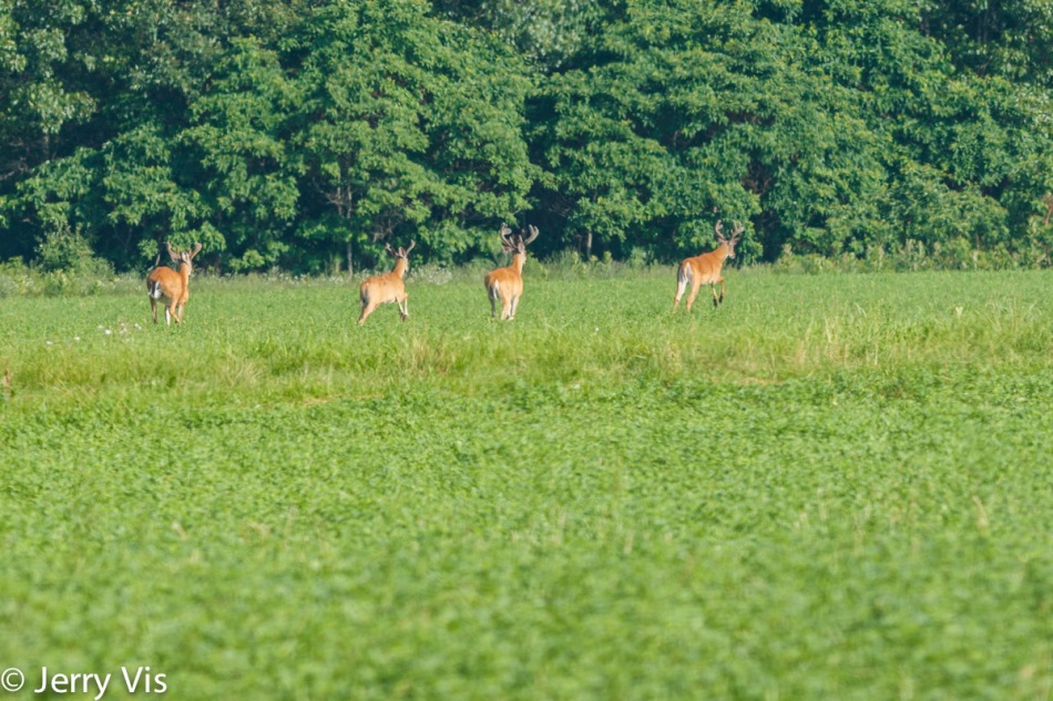 Four whitetail bucks