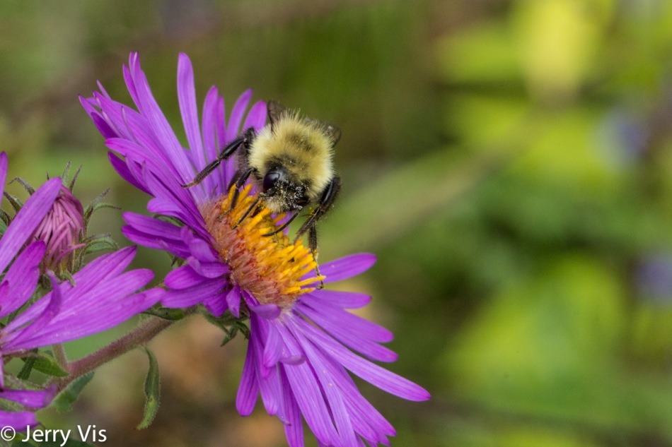 Bumblebee on an aster