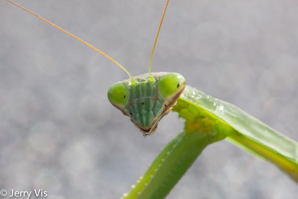 Praying mantis, 100 mm