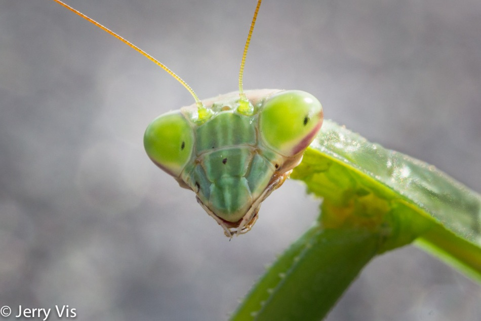 Praying mantis, 100 mm cropped