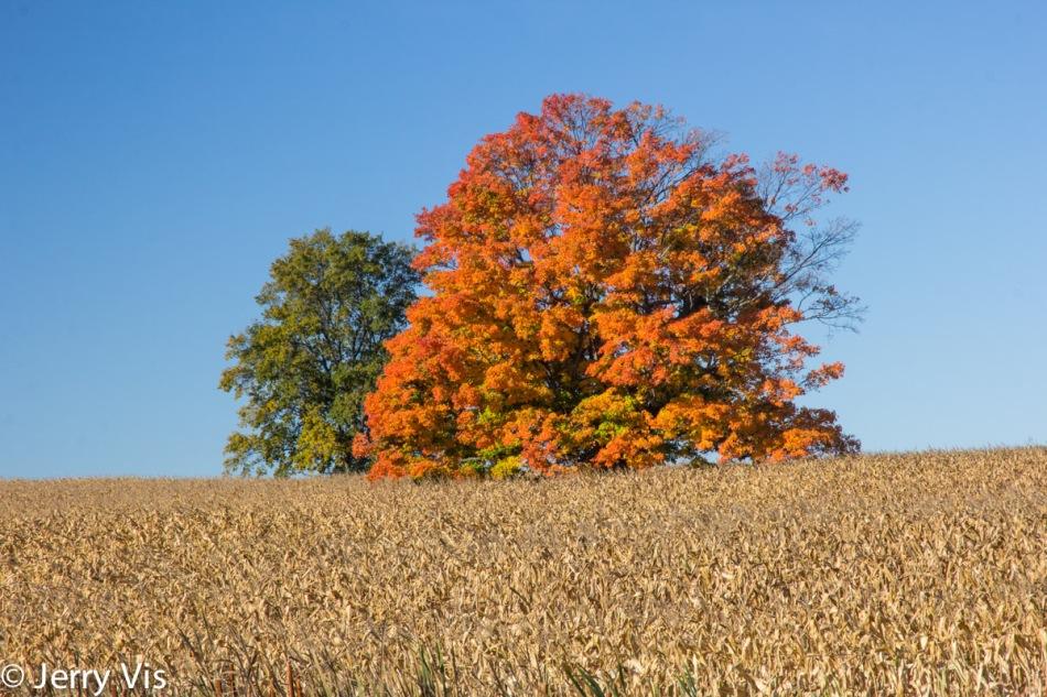 Two trees in a corn field