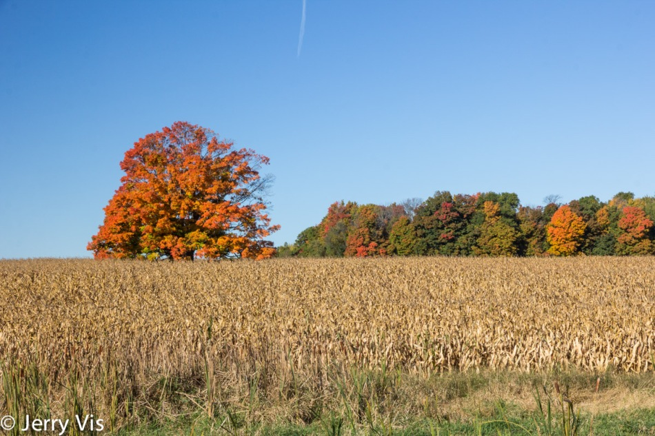 Two trees and lots of friends in a corn field