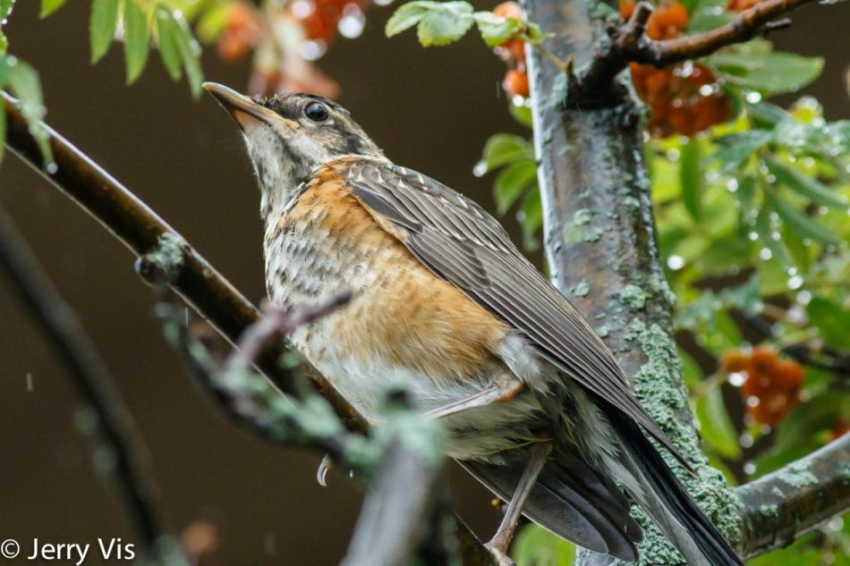 Juvenile American robin