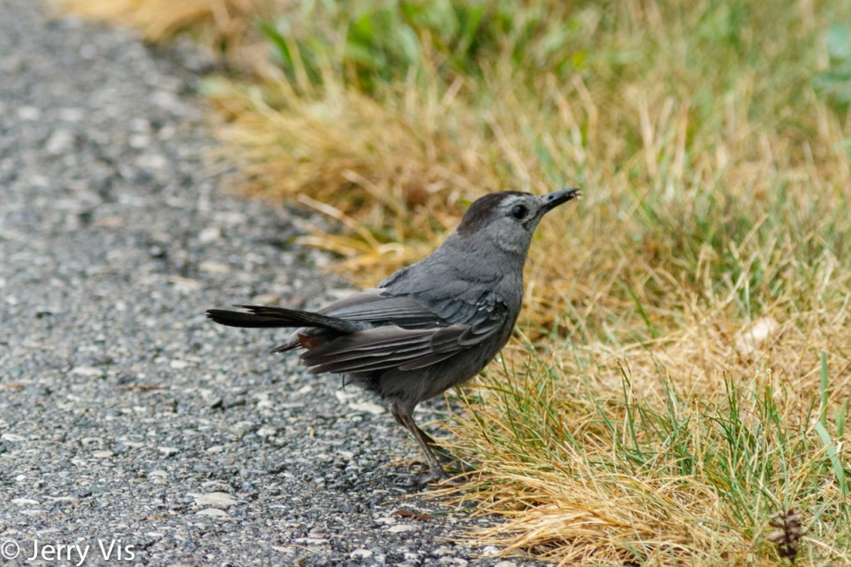 Grey catbird eating an insect