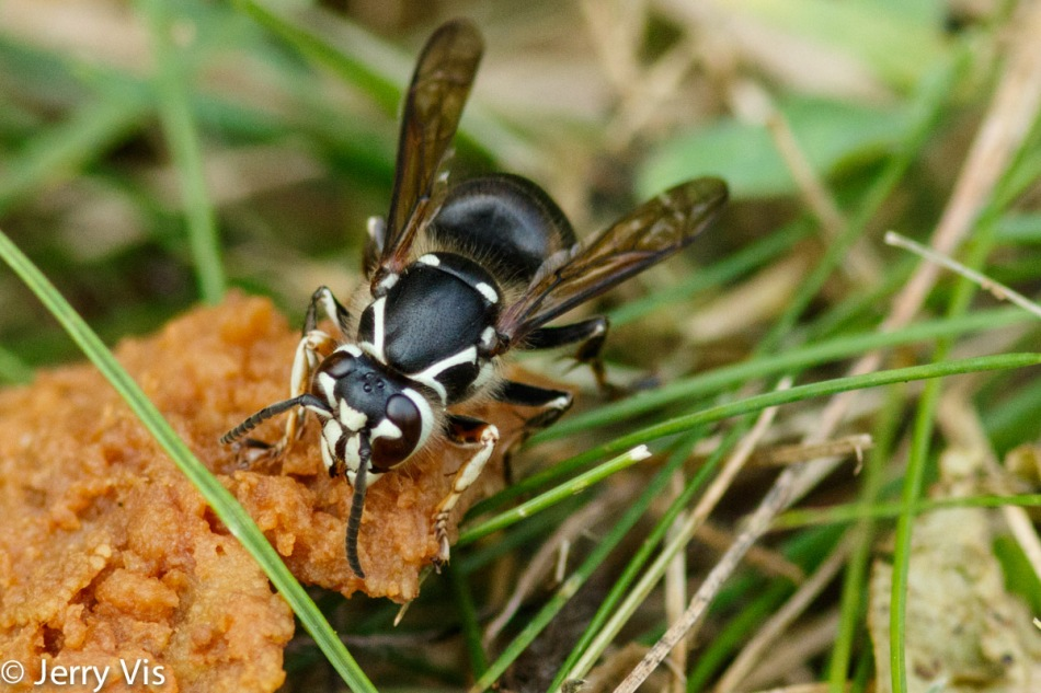 Wasp eating the fruit of a pear tree