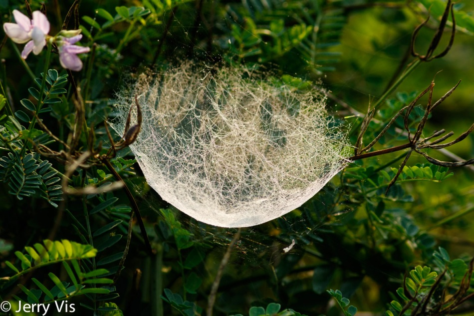 Dew covered hanging spider web