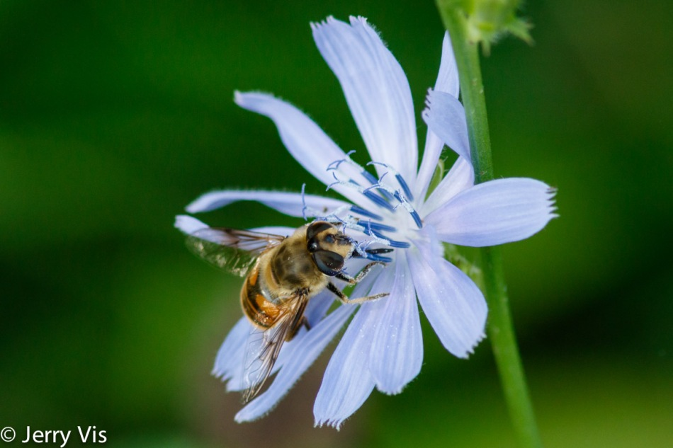 Honeybee and chicory