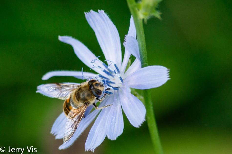 Honeybee and chicory