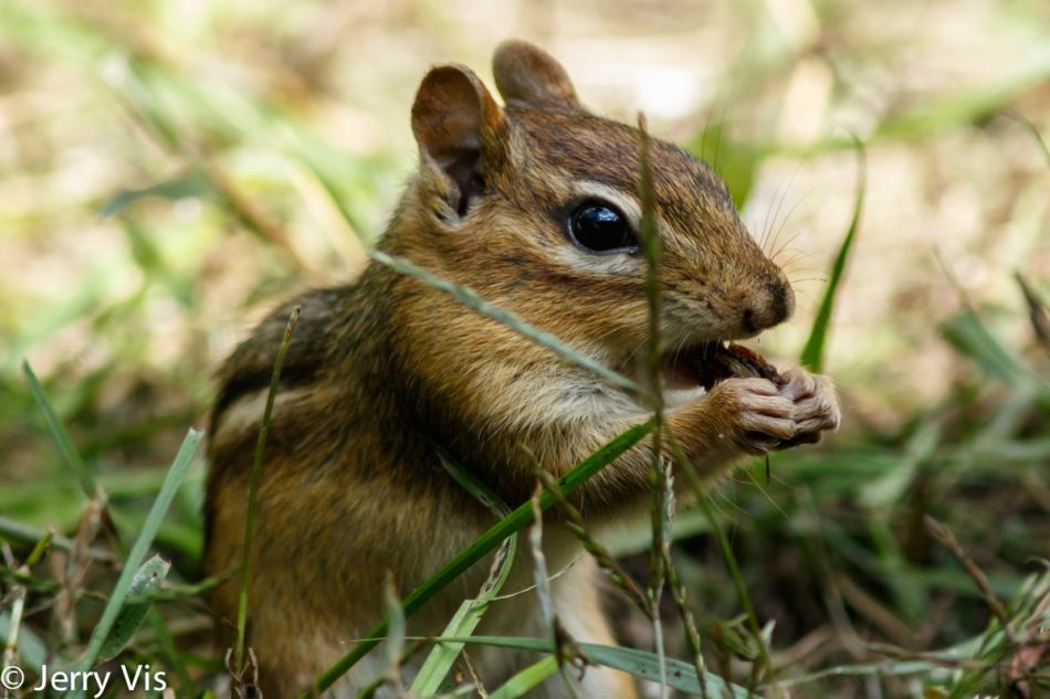 Eastern chipmunk eating a raisin