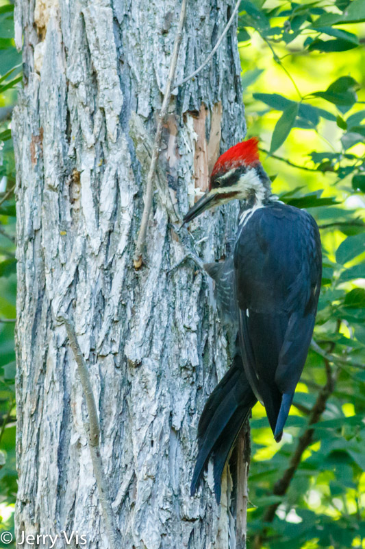 Pileated woodpecker lapping up ants with its tongue