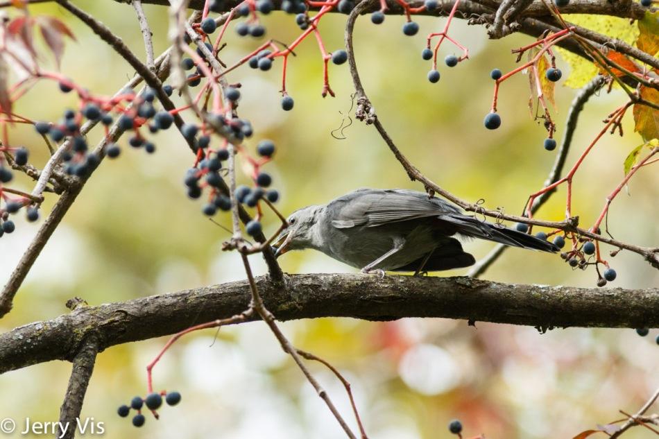 Grey catbird eating grapes