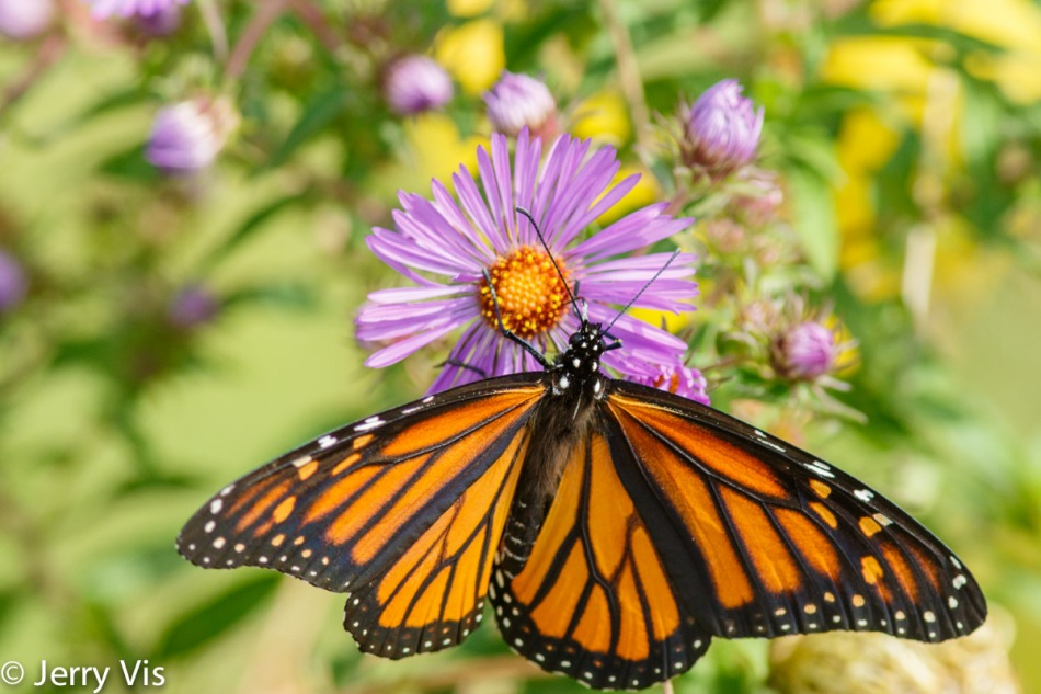 Monarch butterfly on an aster