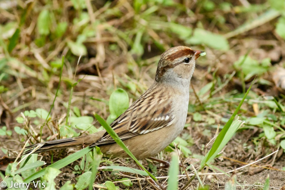Juvenile white-crowned sparrow eating plants