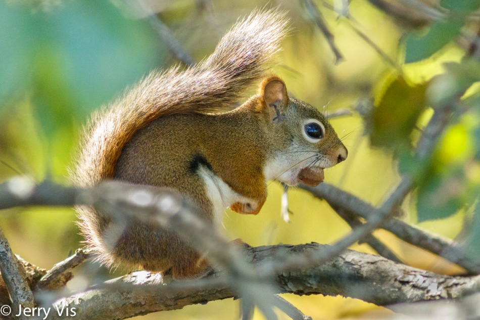 Red squirrel and hickory nut