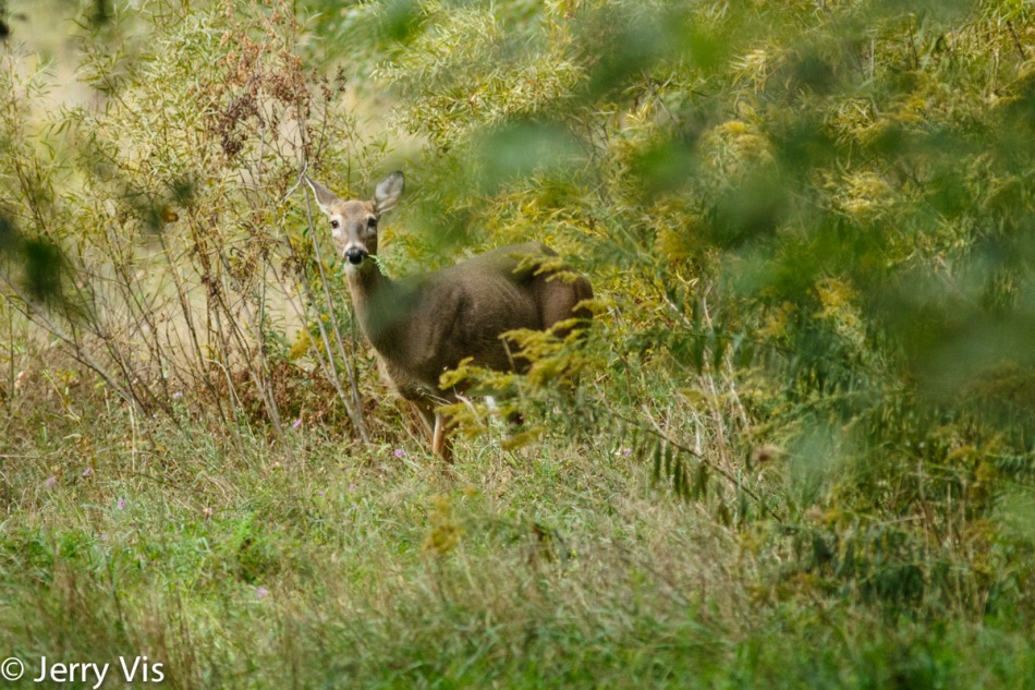 Whitetail doe eating a fern