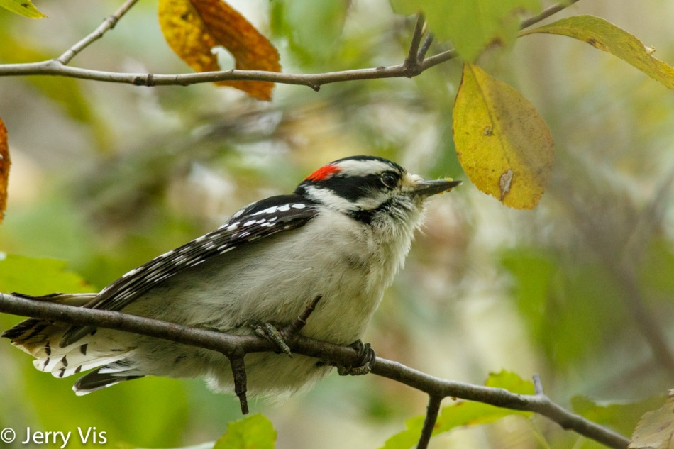 Male downy woodpecker with aphids on its bill