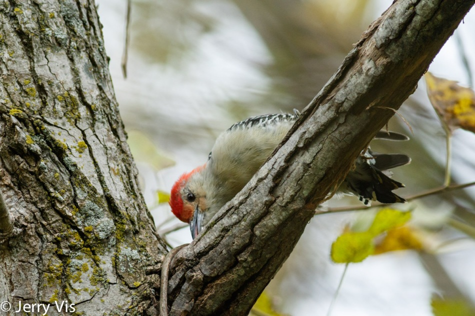 Red-bellied woodpecker probing for food