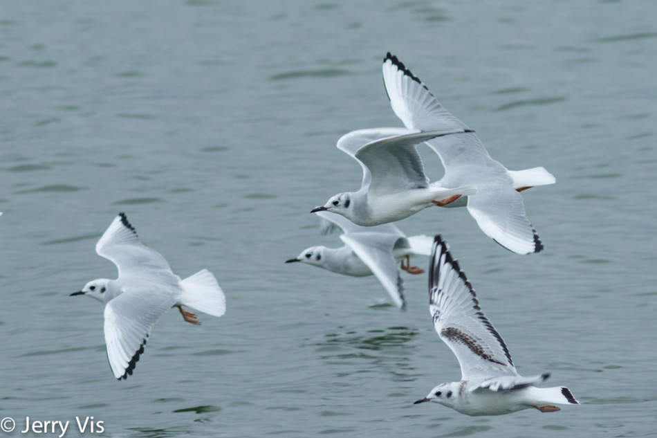 Bonaparte gulls in flight