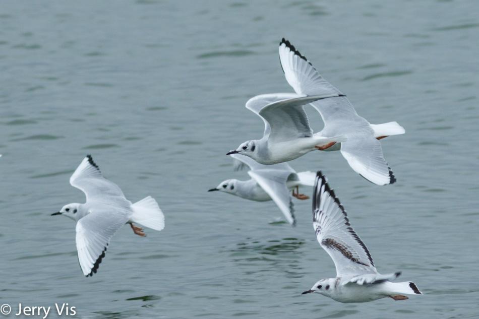 Bonaparte gulls in flight