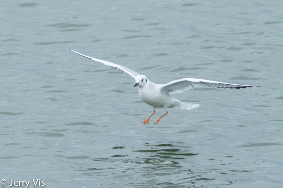 Bonaparte gull in flight