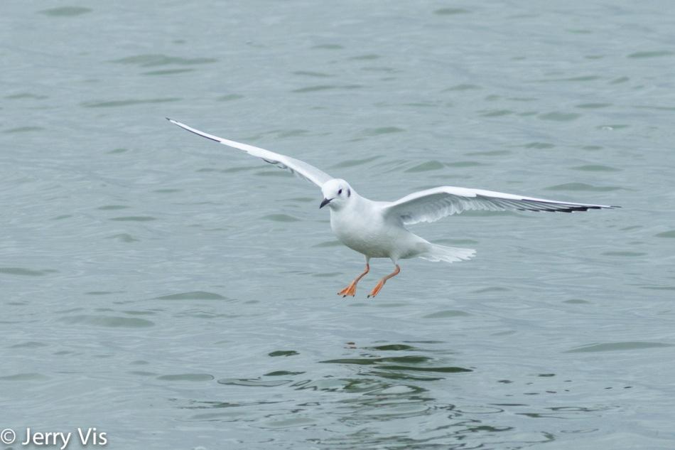 Bonaparte gull in flight