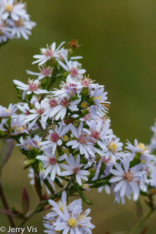 Calico asters or daisies?