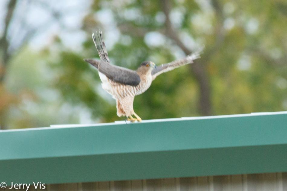 Blurry Cooper's hawk